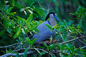Boat-billed heron (Cochlearius cochlearius) on nest, Tamaulipas, northeast Mexico, June  -  Claudio Contreras