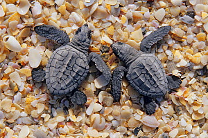 Kemp's ridley turtle (Lepidochelys kempii) two hatchlings on beach, La Pesca Beach, Tamaulipas, northeast Mexico, July  -  Claudio Contreras
