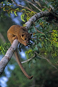 Kinkajou (Potos flavus) in tree, Montes Azules Biosphere Reserve, Lacandon Rainforest, Mexico, September - Claudio Contreras