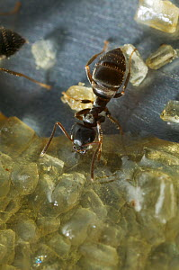 Black garden ant (Lasius niger) feeding on spilt brown sugar in kitchen sink, UK  -  Stephen Dalton