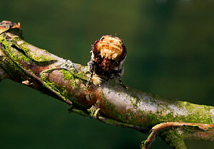 Buff tip moth (Phalera bucephala) camouflaged to resemble broken twig, UK - Stephen Dalton