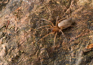 Ground / Stealthy spider (Drassodes sp) on tree trunk, UK - Stephen Dalton