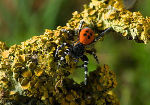 Ladybird spider (Eresus cinnaberinus) male, Dorset, UK. In England this extremely rare spider has a habitat confined to a quarter acre patch in Dorset, while the male only appears above ground for a f...  -  Stephen Dalton
