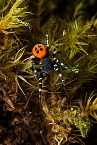 Ladybird spider (Eresus cinnaberinus)male, Dorset, UK. In England this extremely rare spider has a habitat confined to a quarter acre patch in Dorset, and the male only appears above ground for a few...  -  Stephen Dalton
