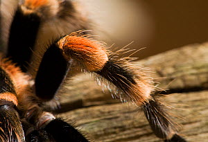 Close up of leg of Mexican red-knee tarantula spider (Brachypelma smithi) controlled conditions  -  Stephen Dalton