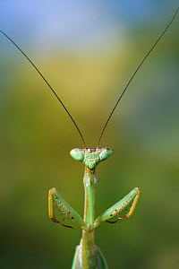 Ethiopian mantis {Miomantis abyssinica} portrait, controlled conditions.  -  Stephen Dalton