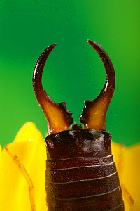 Close up of rear pincers of Earwig {Labidura riparia} on Iris flower, UK - Stephen Dalton