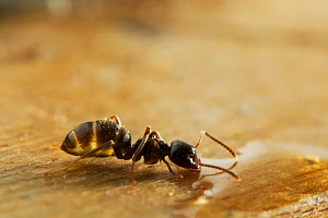 Garden black ant {Lasius niger} feeding on liquid, UK  -  Stephen Dalton