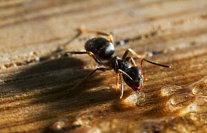 Garden black ant {Lasius niger} feeding, UK  -  Stephen Dalton
