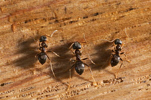 Three Garden black ants {Lasius niger} feeding on sugar grains on wood, UK  -  Stephen Dalton