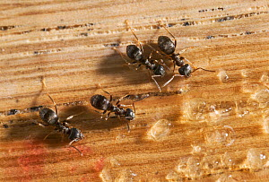Garden black ants {Lasius niger} feeding on sugar grains on wood, UK  -  Stephen Dalton