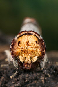 Close up of head of Buff tip moth {Phalera bucephala} UK - Stephen Dalton