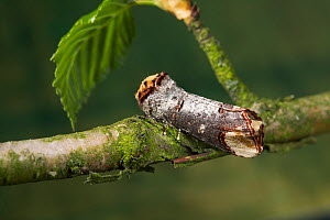 Buff tip moth {Phalera bucephala} camouflaged as twig on branch, UK - Stephen Dalton