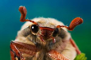 Common Cockchafer / Maybug {Melolontha melolontha} portrait, UK - Stephen Dalton