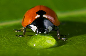 Seven spot ladybird {Coccinella septempunctata} drinking from drop of water on leaf, UK  -  Stephen Dalton