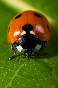 Seven spot ladybird {Coccinella septempunctata} drinking from water on leaf, UK  -  Stephen Dalton