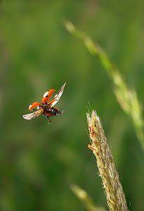 Seven spot ladybird (Coccinella septumpunctata) flying from grass head, UK  -  Stephen Dalton