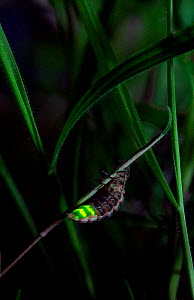 Glow-worm (Lampyris noctiluca) female glowing, UK  -  Stephen Dalton