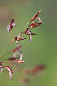 Common / Colonial bent grass {Agrostis capillaris} in seed, UK  -  Stephen Dalton