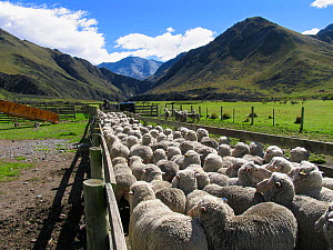 Merino sheep in pen, Otago, South Island, New Zealand  -  Stephen Dalton