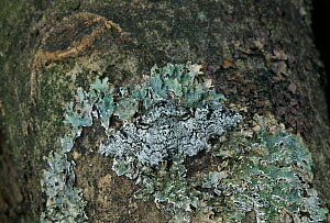 Peppered moth {Biston betularia} camouflaged on tree trunk against lichen, UK - Stephen Dalton