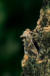 Silver Y moth {Plusia / Autographa gamma} camouflaged on tree trunk, UK - Stephen Dalton