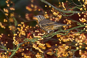 Mistle thrush {Turdus viscivorus} perched amongst berries, UK - Stephen Dalton