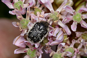 Apple blossom beetle / flower chafer {Tropinota / Epicometis hirta} on allium flower, Cyprus - Stephen Dalton