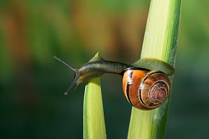 Brown lipped / Grove banded snail {Cepaea nemoralis} crossing from one leaf to another, UK  -  Stephen Dalton