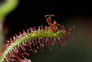 Ant caught on Sundew plant {Drosera sp} UK  -  Stephen Dalton