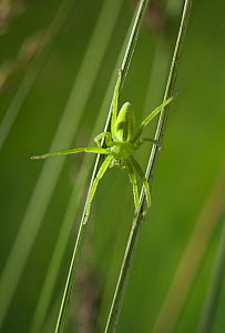 Green meadow spider (Micrommata virescens) sub-adult female of very fast moving spider that hunts by grabbing passing insects, UK, Sparassidae - Stephen Dalton