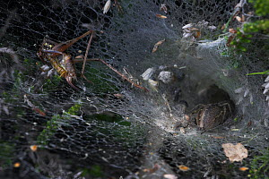 Labyrinth spider (Agelena labyrinthica) in retreat in funnel web, rear view showing spinners and abdominal markings and half eaten bush cricket on web, UK, Agelenidae - Stephen Dalton