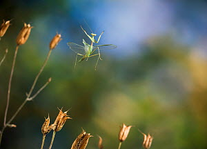 Ethiopian praying mantis {Miomantis abyssinica} in flight  -  Stephen Dalton