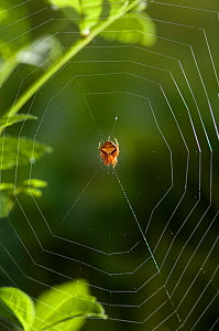 Orb weaver spider (Araneus triguttatus) on web, UK, Araneidae  -  Stephen Dalton