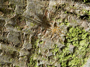 Invisible spider (Drapetisca socialis) on trunk of Beech tree, UK, Linyphidae - Stephen Dalton