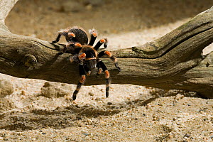 Mexican red-knee tarantula spider (Brachipelma smithi) controlled conditions  -  Stephen Dalton