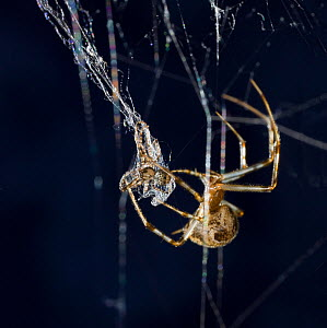 American house spider (Achaearanea) wrapping Pirate spider (Ero sp) in web, USA - Stephen Dalton