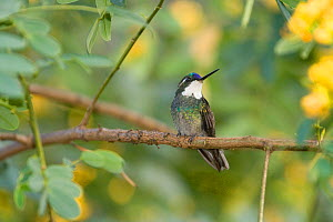 Grey tailed mountain gem hummingbird (Lampornis castaneoventris) perched, Costa Rica  -  Stephen Dalton