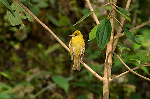 YELLOWISH FLYCATCHER (Empidonax flavescens) perched, Costa Rica  -  Stephen Dalton