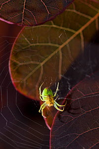 Cucumber spider (Araniella cucurbitina) in its web, UK, Araneidae  -  Stephen Dalton