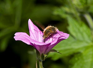 Bee fly {Bombylius SP} feeding from flower, UK  -  Stephen Dalton