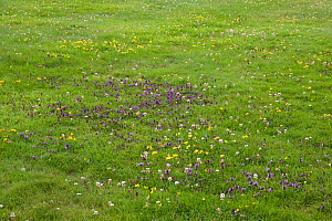 'Natural' garden lawn with wild flowers (Self-heal, bird's foot trefoil and white clover), no weedkillers used, Sussex, UK  -  Stephen Dalton