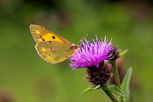 Clouded yellow butterfly (Colius croceus) feeding on Knapweed flower, UK  -  Stephen Dalton