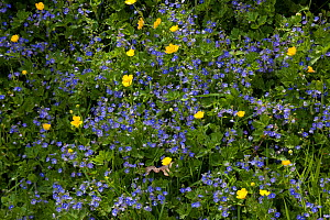 Germander speedwell {Veronica chamaedrys} and Creeping buttercup {Ranunculus repens} flowers, Sussex, UK  -  Stephen Dalton