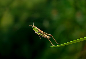Meadow grasshopper (Chorthippus parallelus) leaping, UK  -  Stephen Dalton