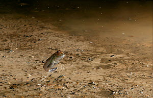Mudskipper {Periophthalmus barbarus} leaping to avoid danger, controlled conditions, from West Africa - Stephen Dalton