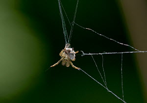Triangle web spider (Hyptiotes paradoxus) wrapping fly prey on its web, UK, Uloboridae - Stephen Dalton