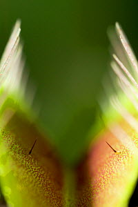 Close up of trap of Venus flytrap {Dionaea muscipula} showing trigger hairs  -  Stephen Dalton
