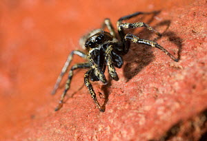 Jumping spider (Salticus scenicus) male showing large palps, UK, Salticidae  -  Stephen Dalton