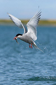 Arctic Tern (Sterna paradisaea) fishing for sandeel, Anglesey, Wales, UK, July - Graham Eaton